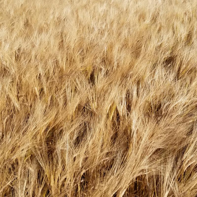 close up of crop